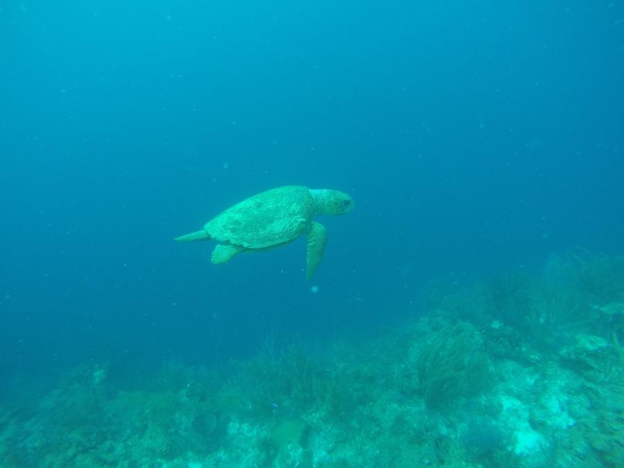 Gentle underwater friend - Belize
